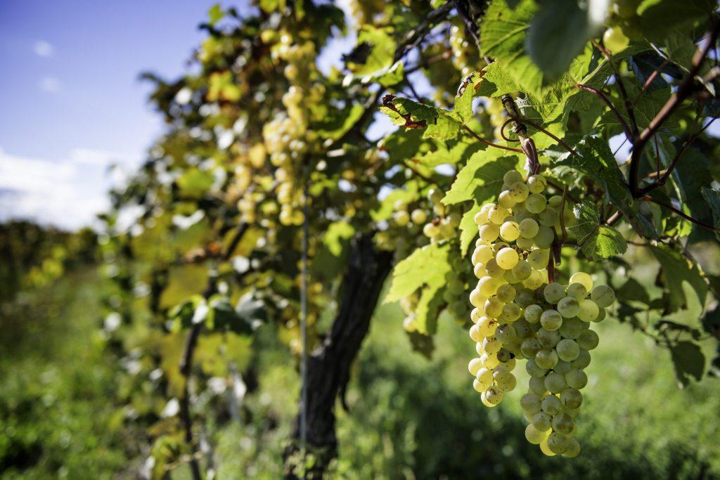 Vineyard, grape tree close up