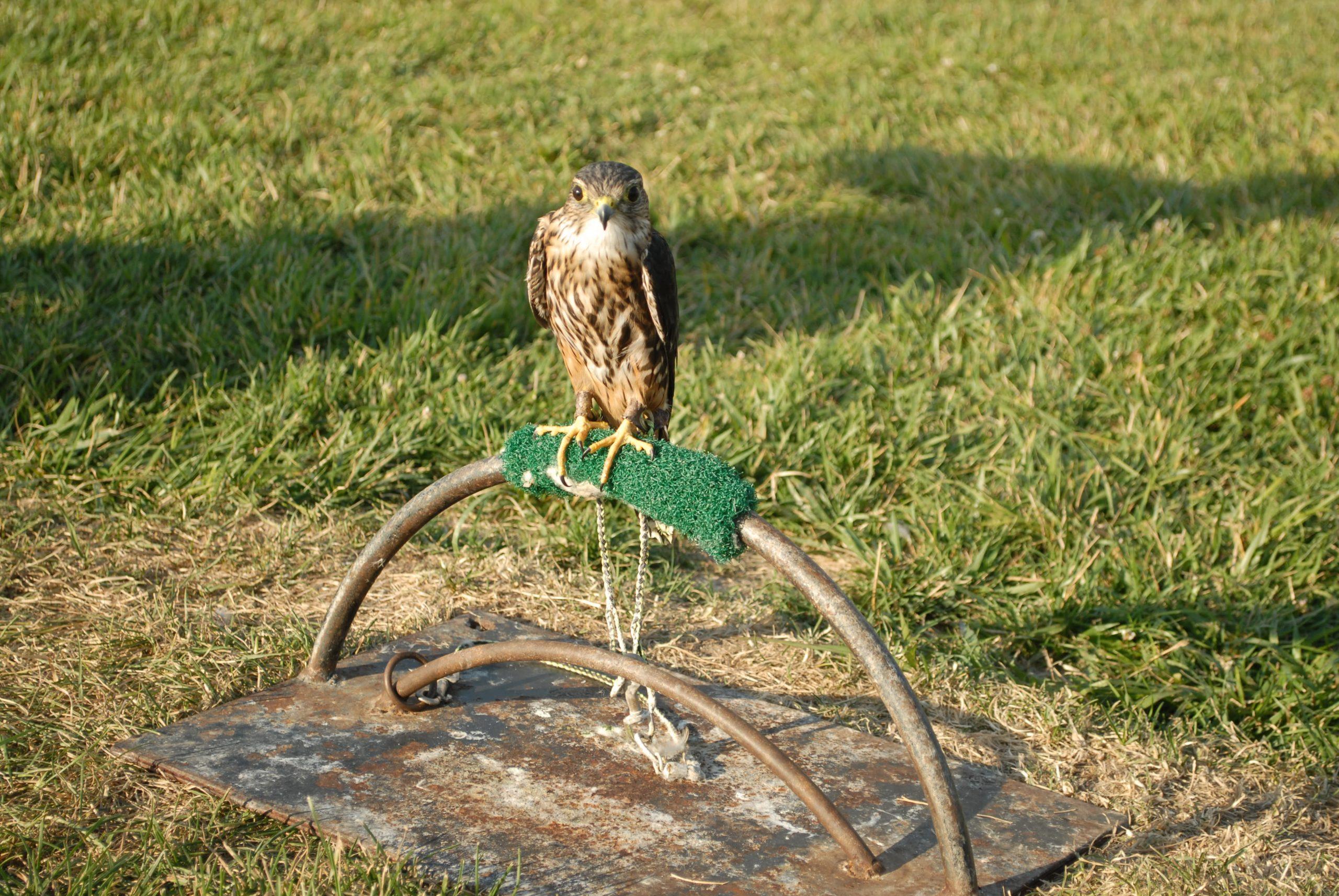 hawk sitting on metal arch